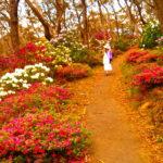 blackheath-rhododendron-garden-bacchante-street-bl41