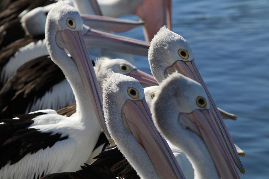 lakes-hotel-pelican-feeding